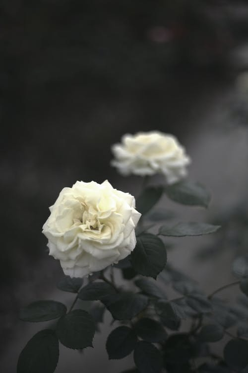 Close-Up Shot of White Roses in Bloom