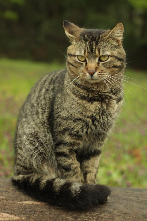 Photo of a Tabby Cat