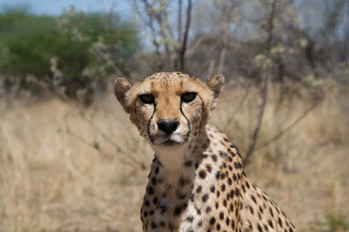 Cheetah on Brown Grass Field