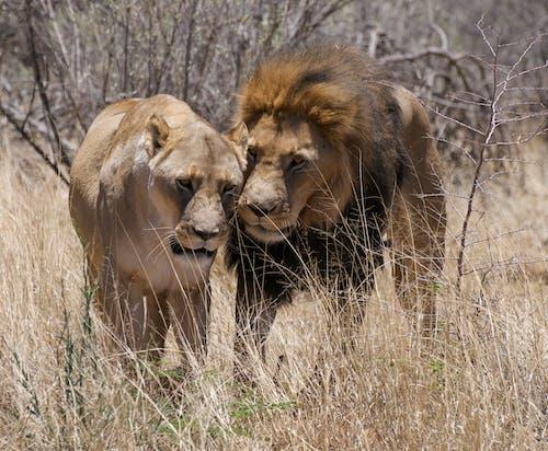 Immagine gratuita di animali, animali selvatici, erba