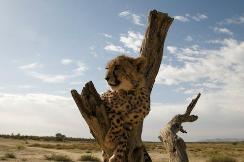 Cheetah on Brown Tree Under Blue Sky
