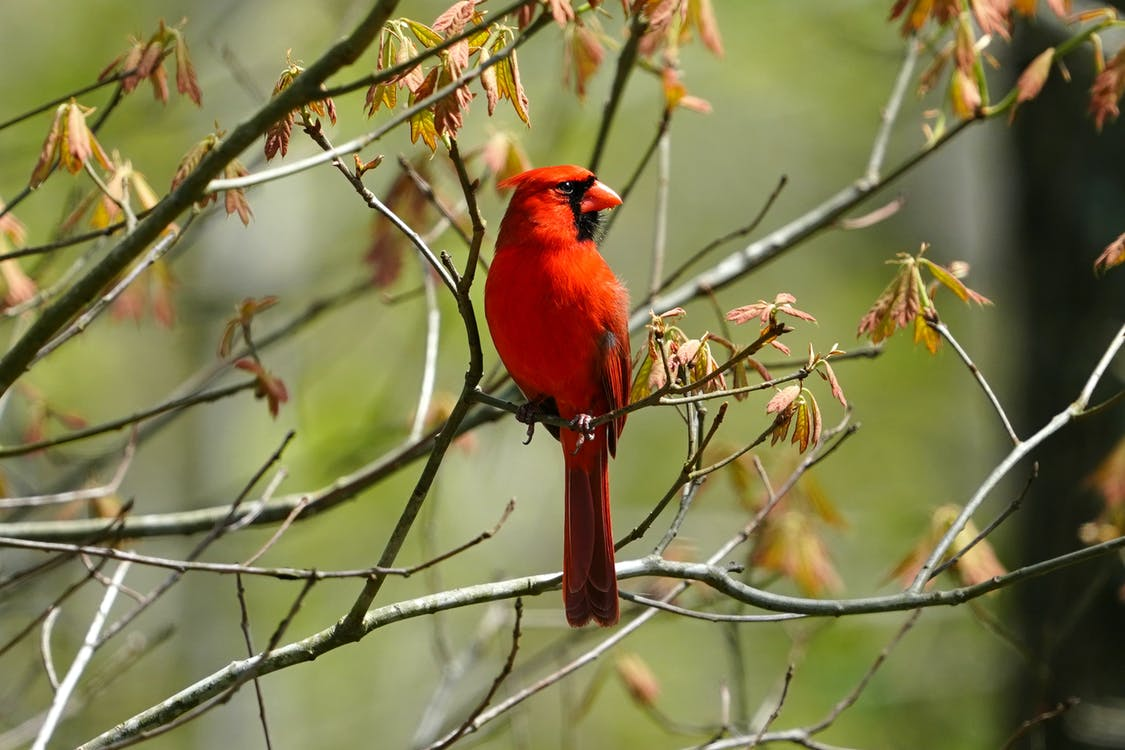 Red Northern Cardinal Perched on Tree Branch