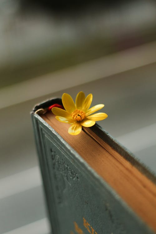 Blossoming colorful flower with wavy gentle petals and pleasant aroma between aged textbook pages on blurred background
