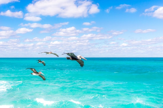 Four Brown Pelicans Flying at Daytime