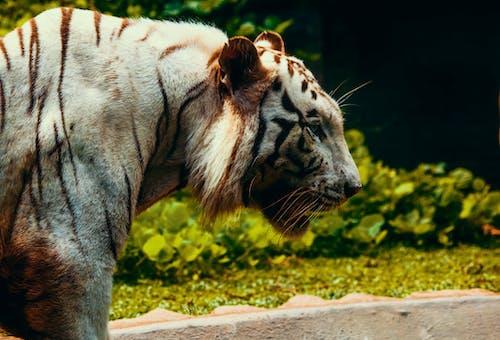 Darmowe zdjęcie z galerii z fotografia zwierzęcia, futro, gniew, kot
