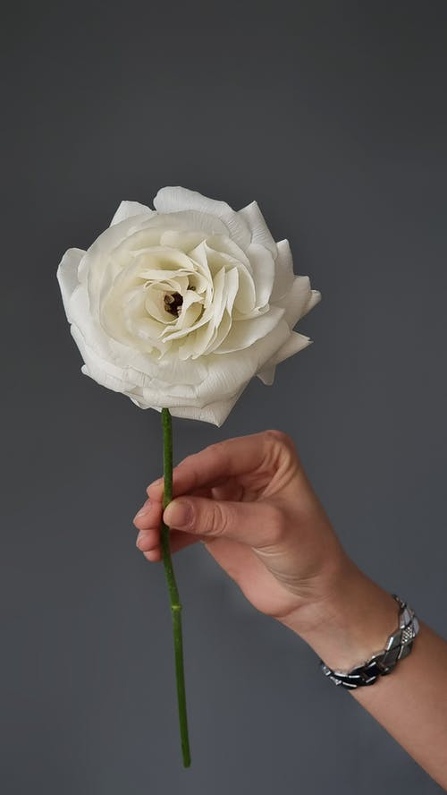 Crop unrecognizable female demonstrating blossoming white flower with curved tender petals on thin stem on gray background