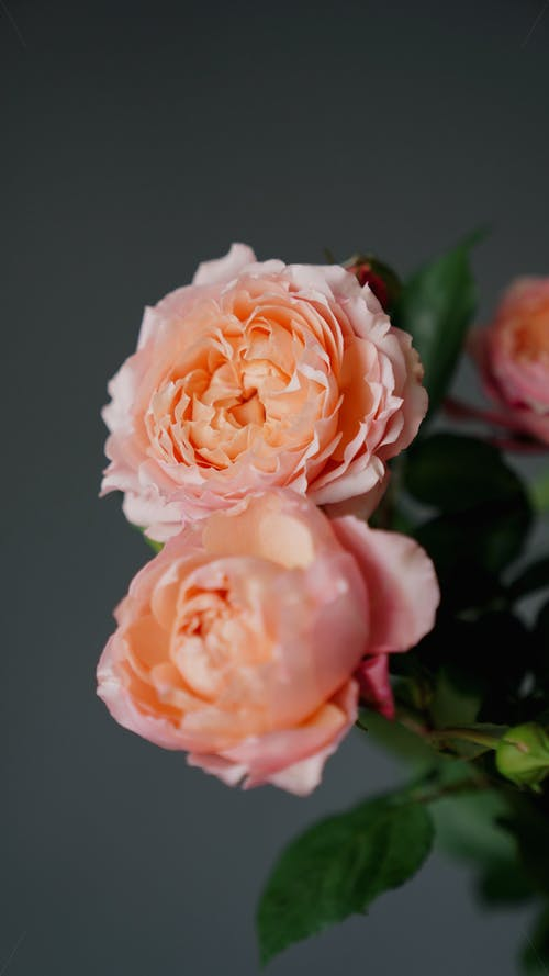 Fresh aromatic English roses with tender pink petals and green leaves against black background