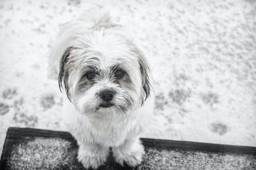 Grayscale Photo of Shih Tzu