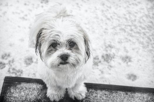 Grayscale Photo of Shih Tzu