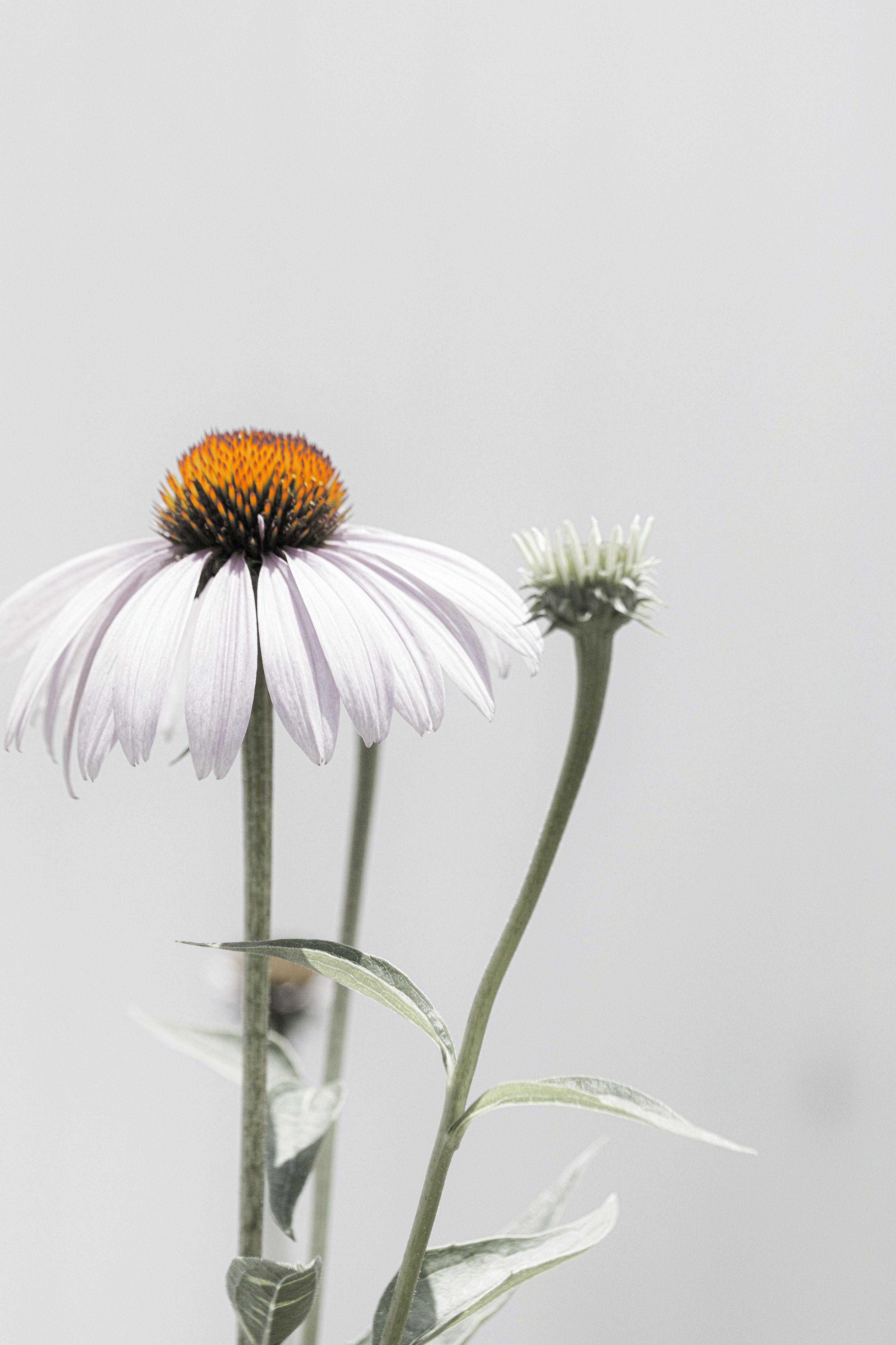 Free stock photo of coneflower