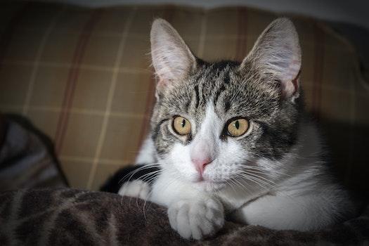 Short-coated Gray and White Tabby Kitten