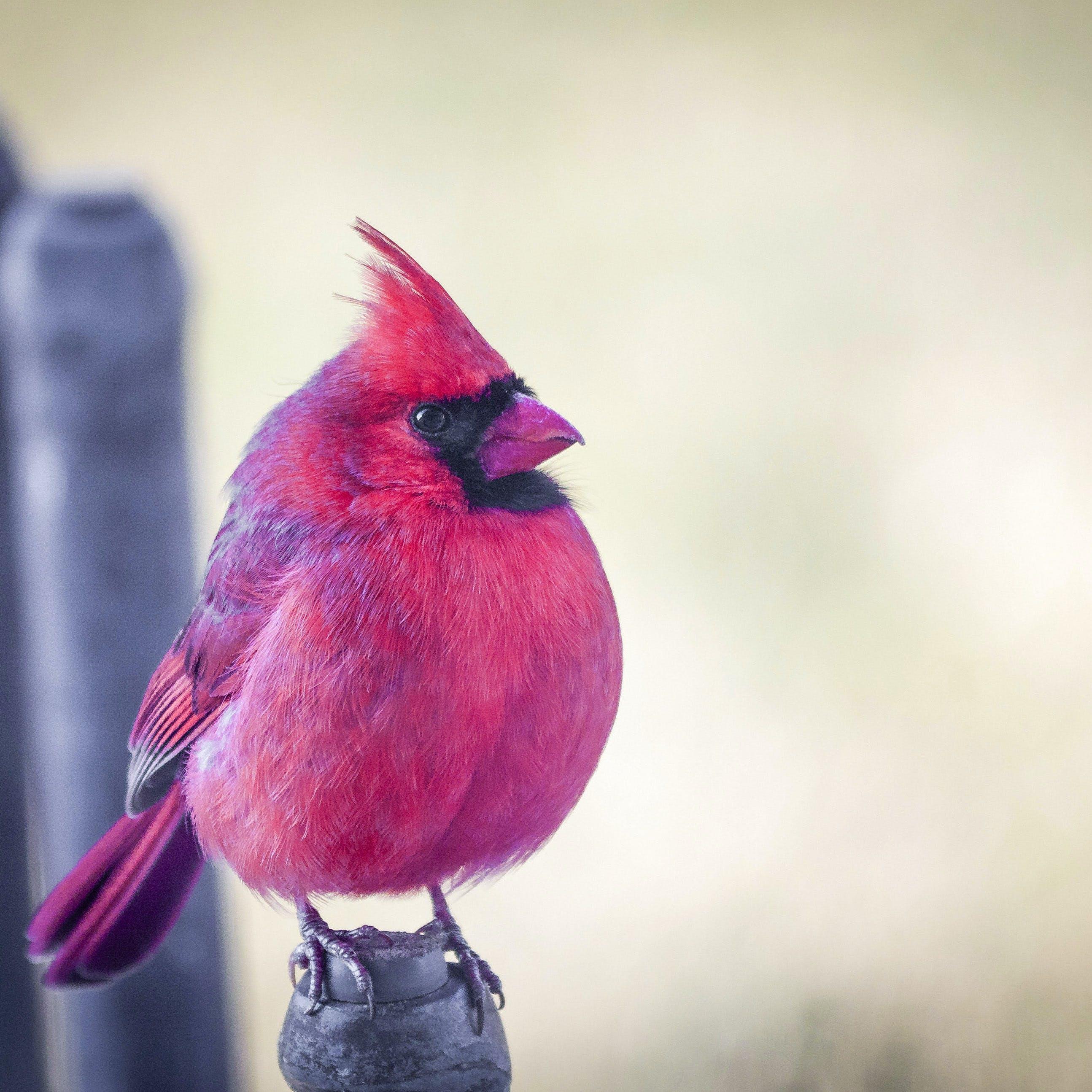 Free stock photo of cardinal