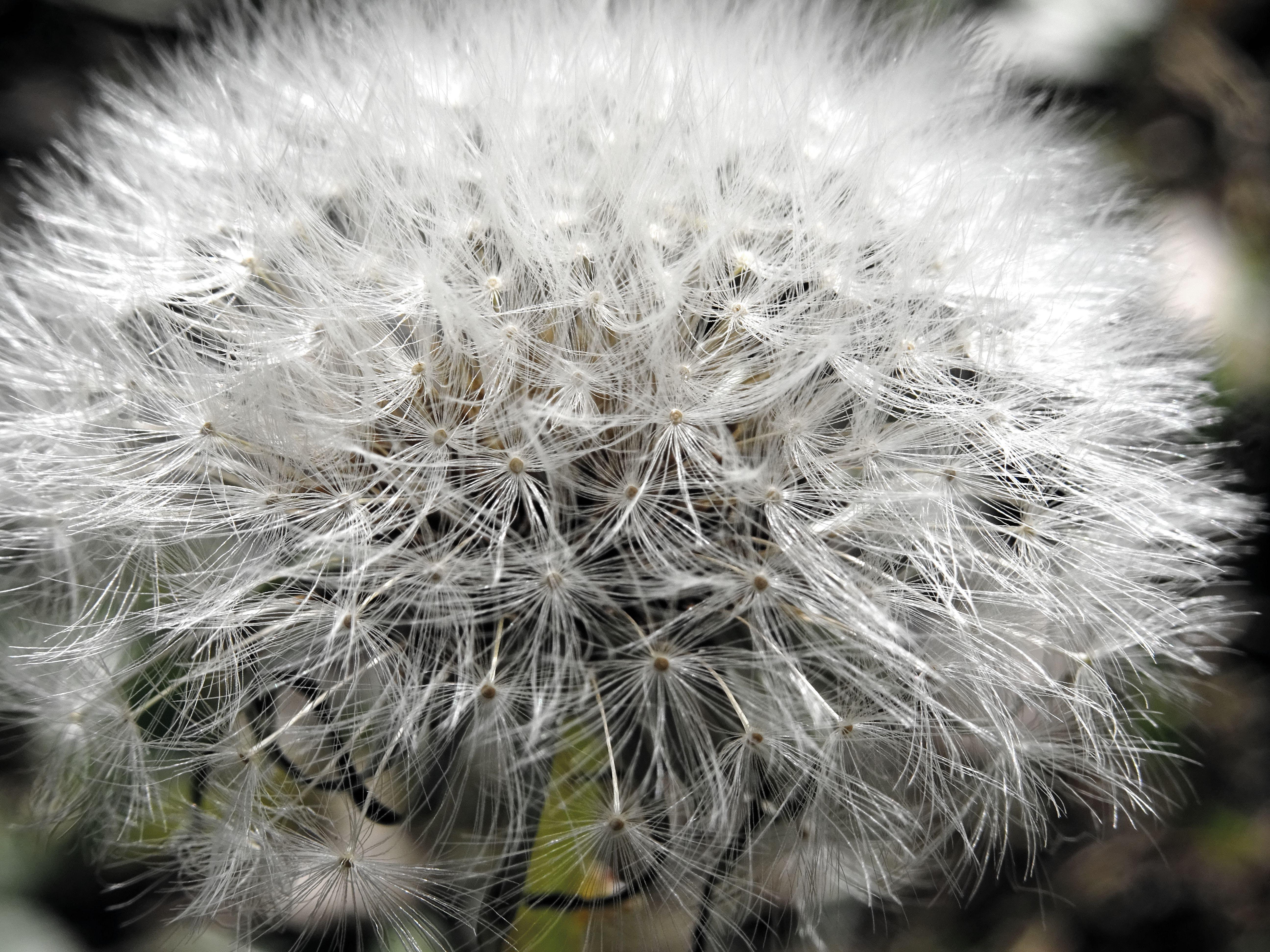 Closeup Photo of White Dandelion