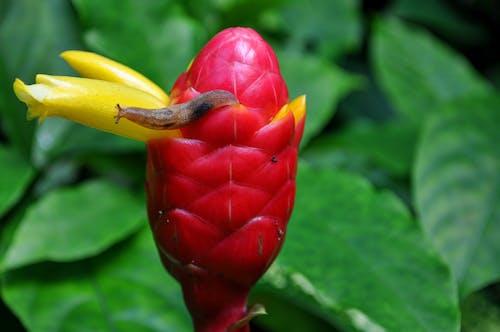 Brown Slug on Yellow Beehive Ginger Flower