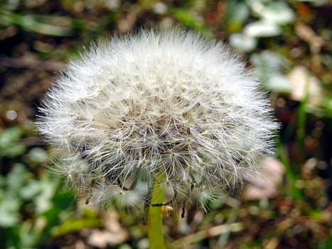 White Dandelion Closeup Photo