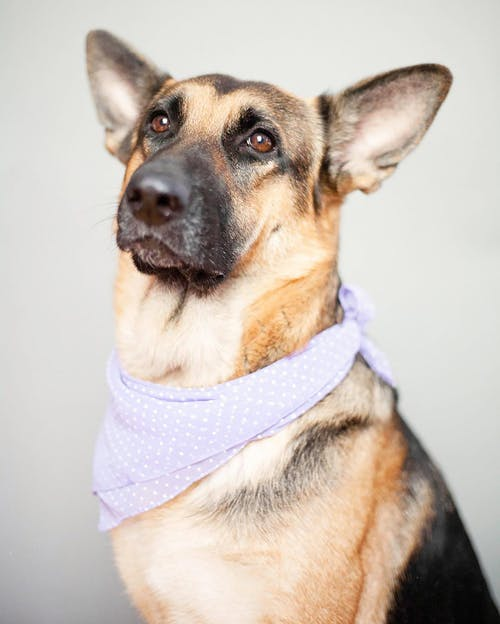 A Dog with a Purple Scarf