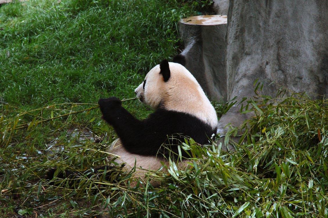 Panda Lying on Green Grass