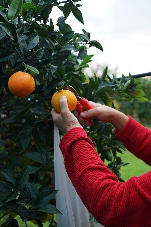 Person Holding Orange Fruit