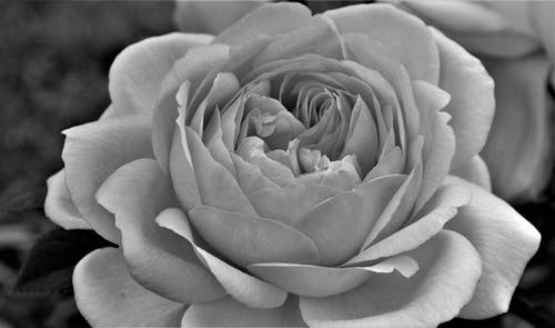 Grayscale Photo of a Rose