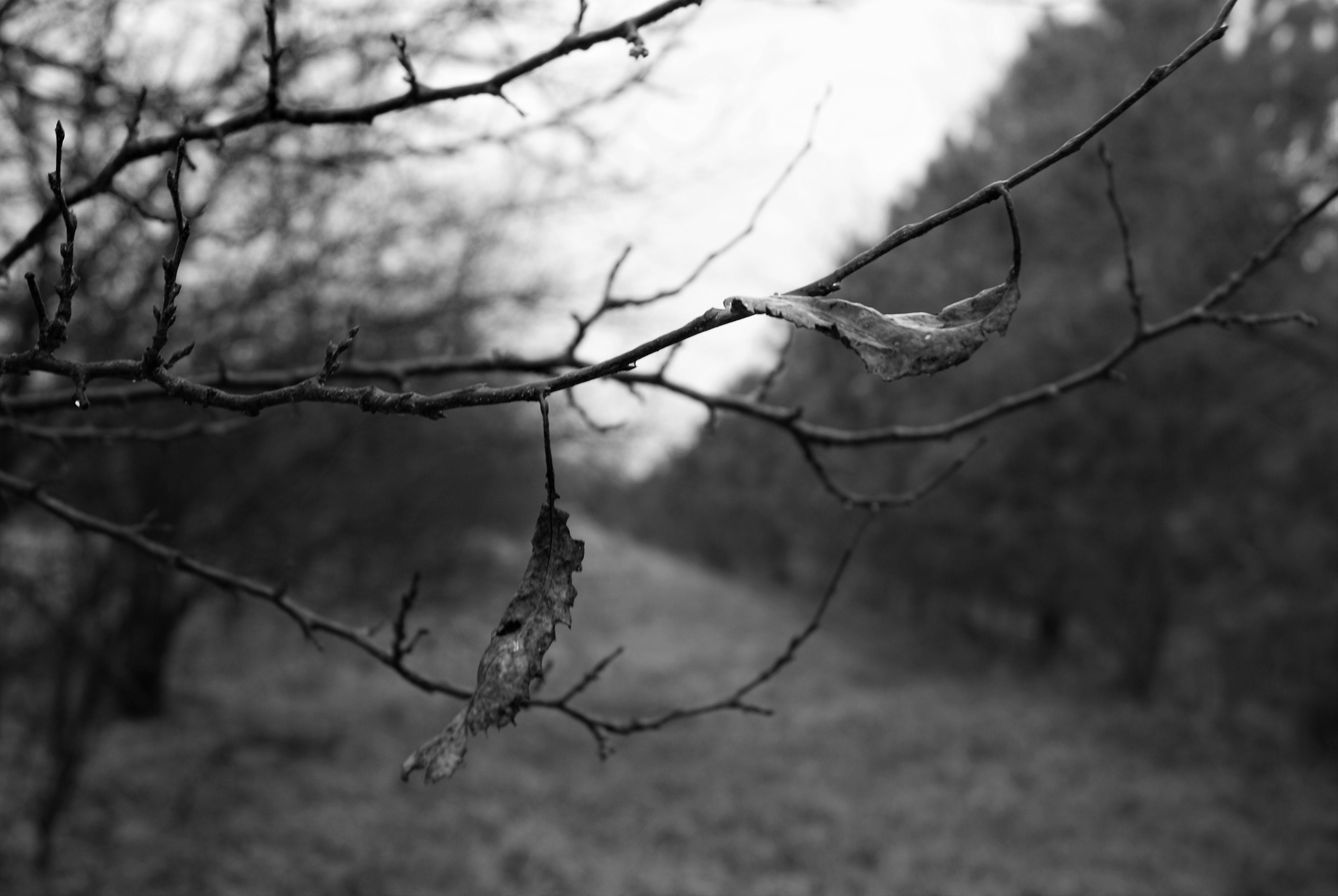 Free stock photo of b&w, black and white, country, leaf