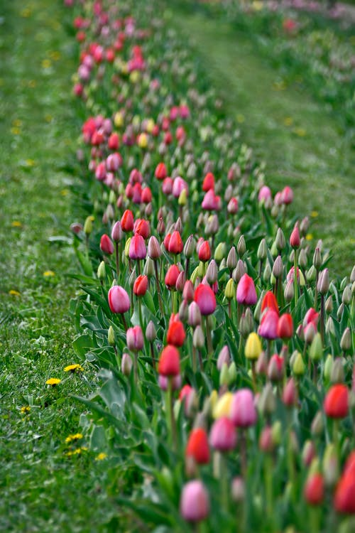 Pink and White Tulips on Green Grass Field