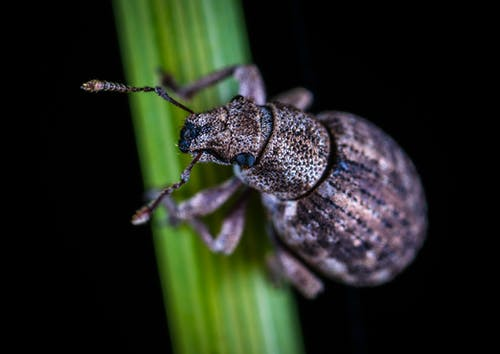 Close-up Photo of Rice Weevil