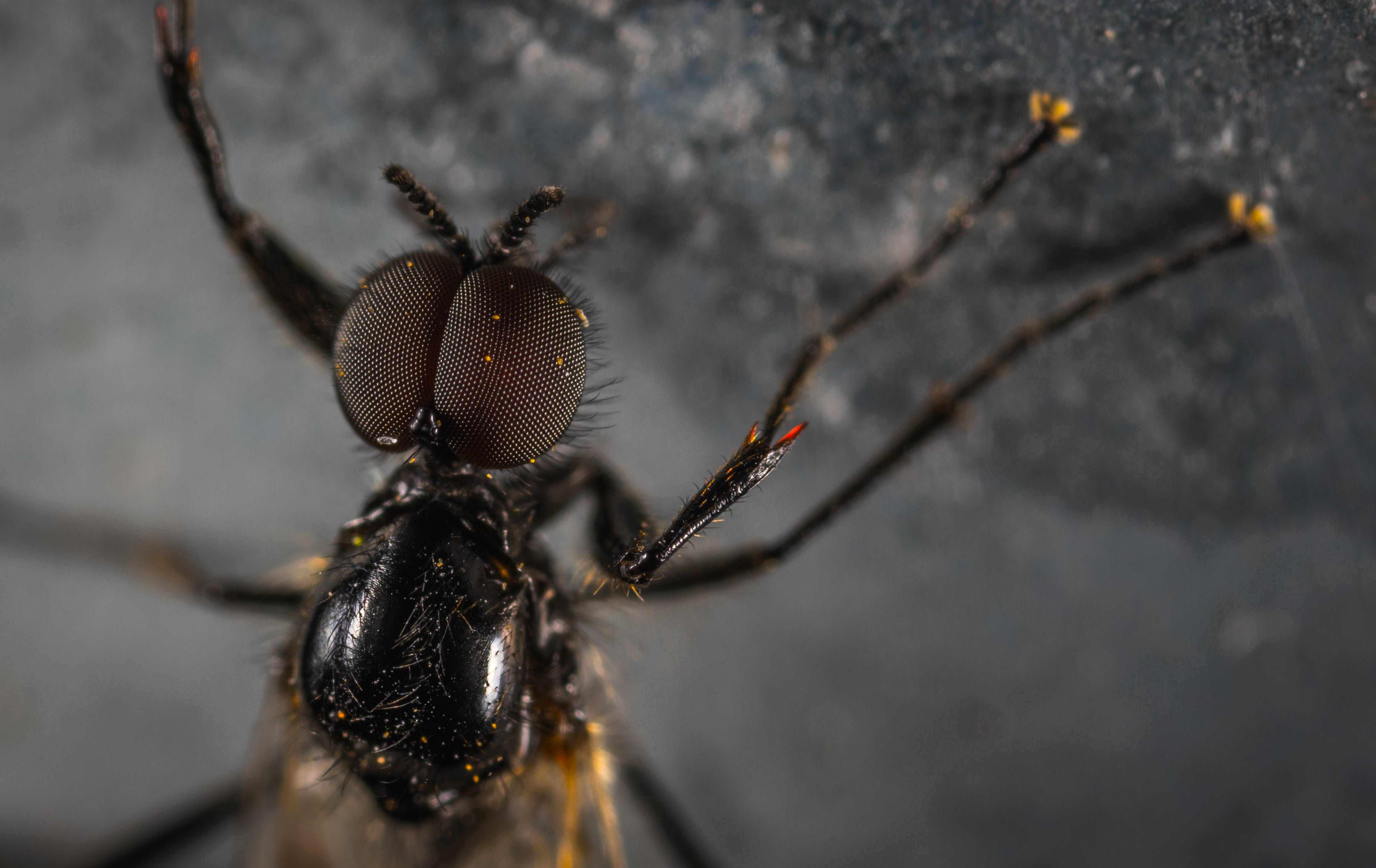 Close Up Photo Black Housefly