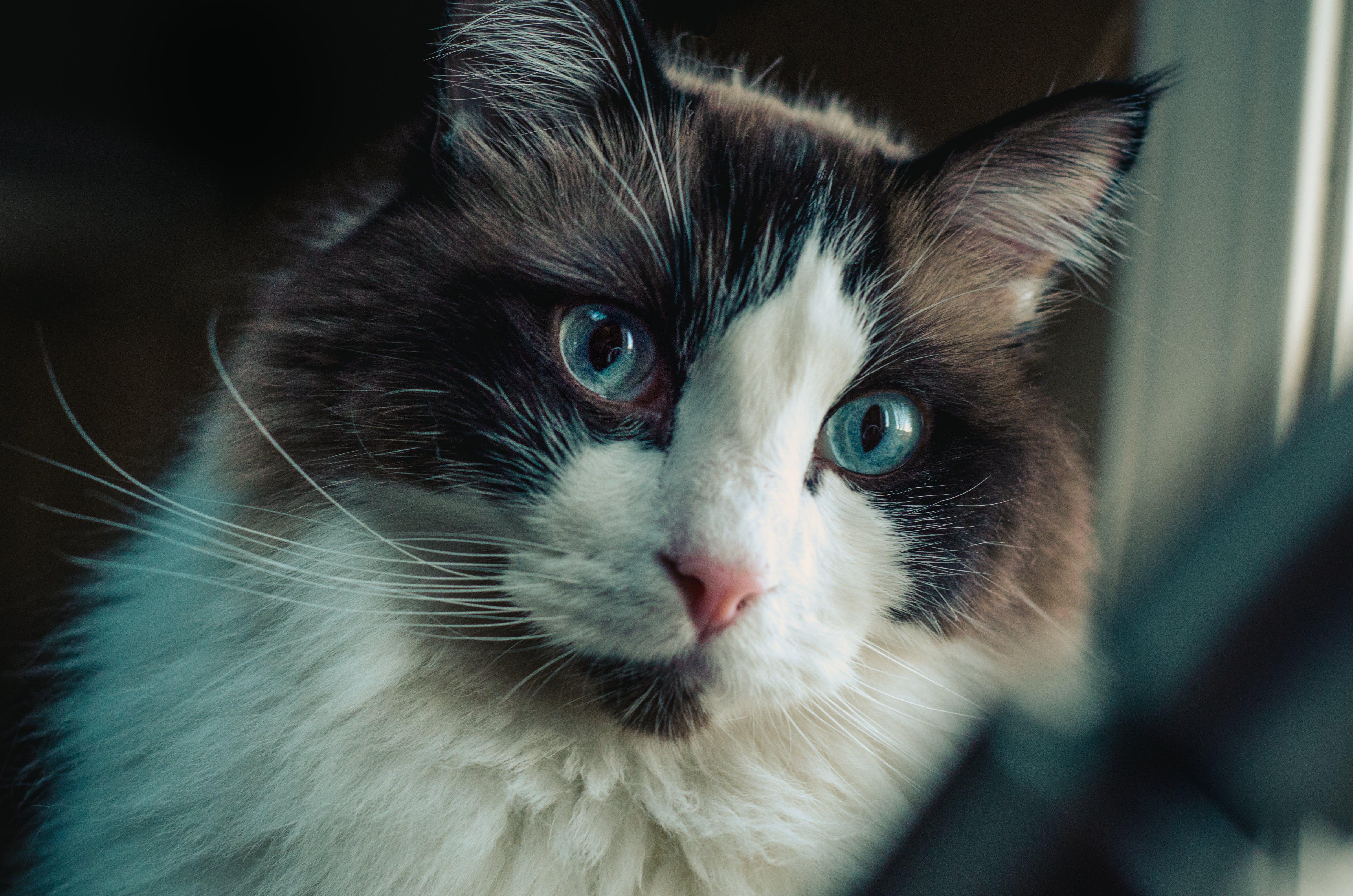 Free stock photo of animals, blue eyes, cat, feline