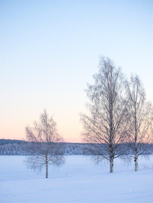 겨울, 경치, 눈, 버 치 스의 무료 스톡 사진