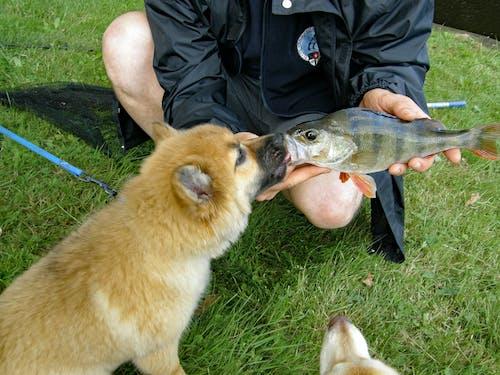 Free stock photo of Icelandic sheepdog, kiss a fish, puppy