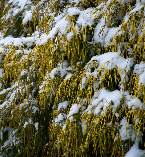 Immagine gratuita di alberi, arbusti, giallo dorato, neve