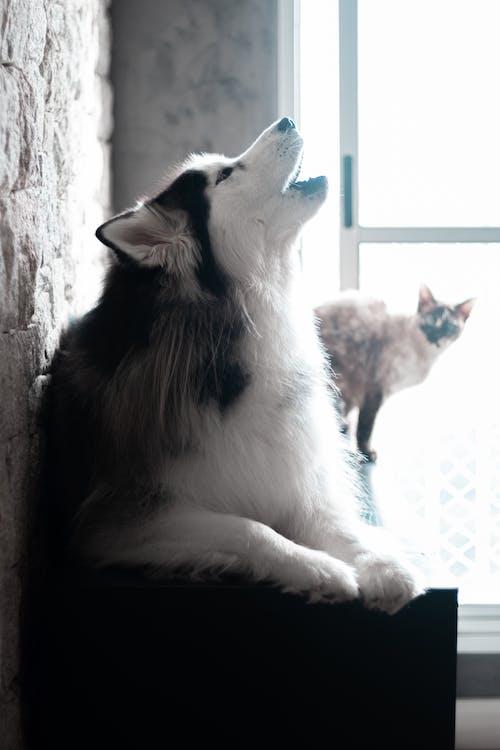 Close-Up Photo of a Siberian Husky Howling