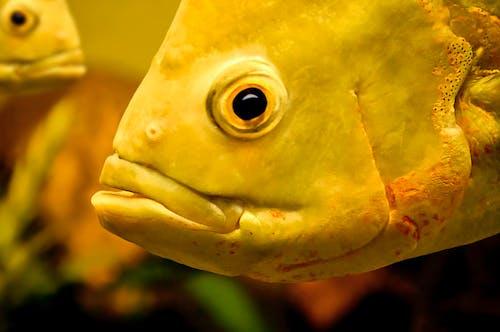 Kostenloses Stock Foto zu aquarium, fisch, fischauge
