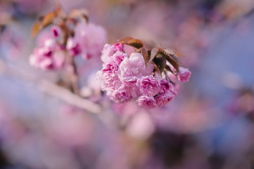 Free stock photo of flowers, pink, spring
