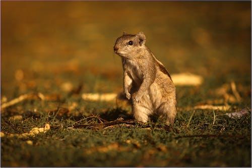 Brown Squirrel on Green Grass