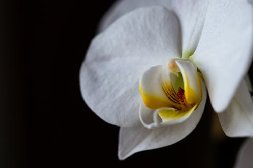 White Orchid Flower with Yellow Lip in Black Background