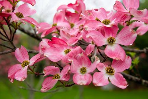 Free stock photo of dogwood, flowers, mohan