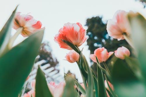 Základová fotografie zdarma na téma barva, červený tulipán, elegantní