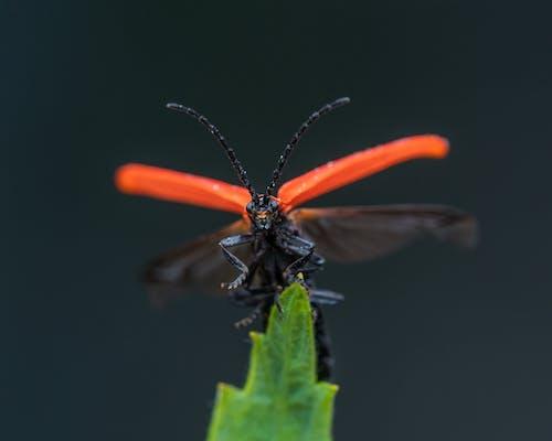 Porrostoma rhipidius insect sitting on green plant leaf