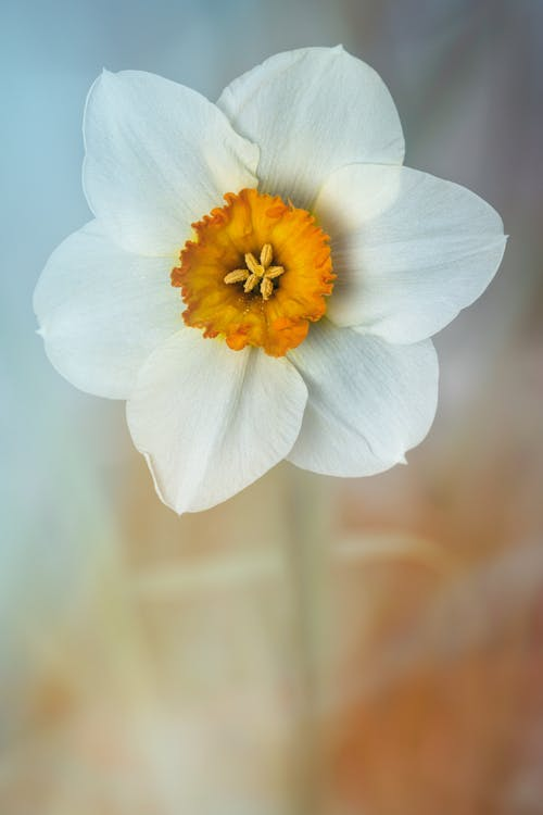 Closeup of aromatic poets daffodil flower with tender white petals and yellow pestle growing on meadow on sunny day