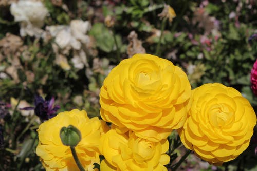 Free stock photo of everything yellow, flowers, golden yellow