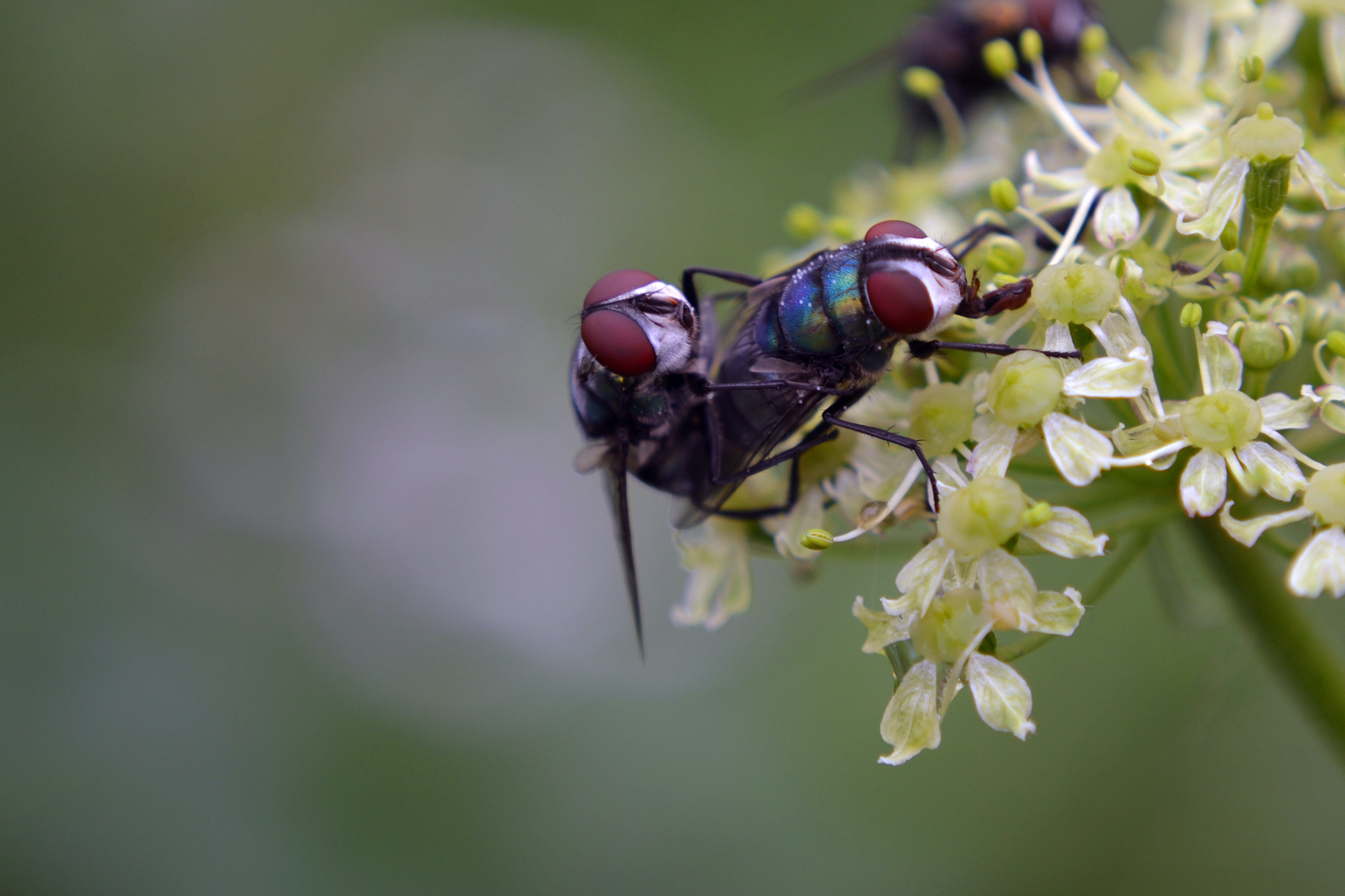 Free stock photo of flies, flower, fly, micro