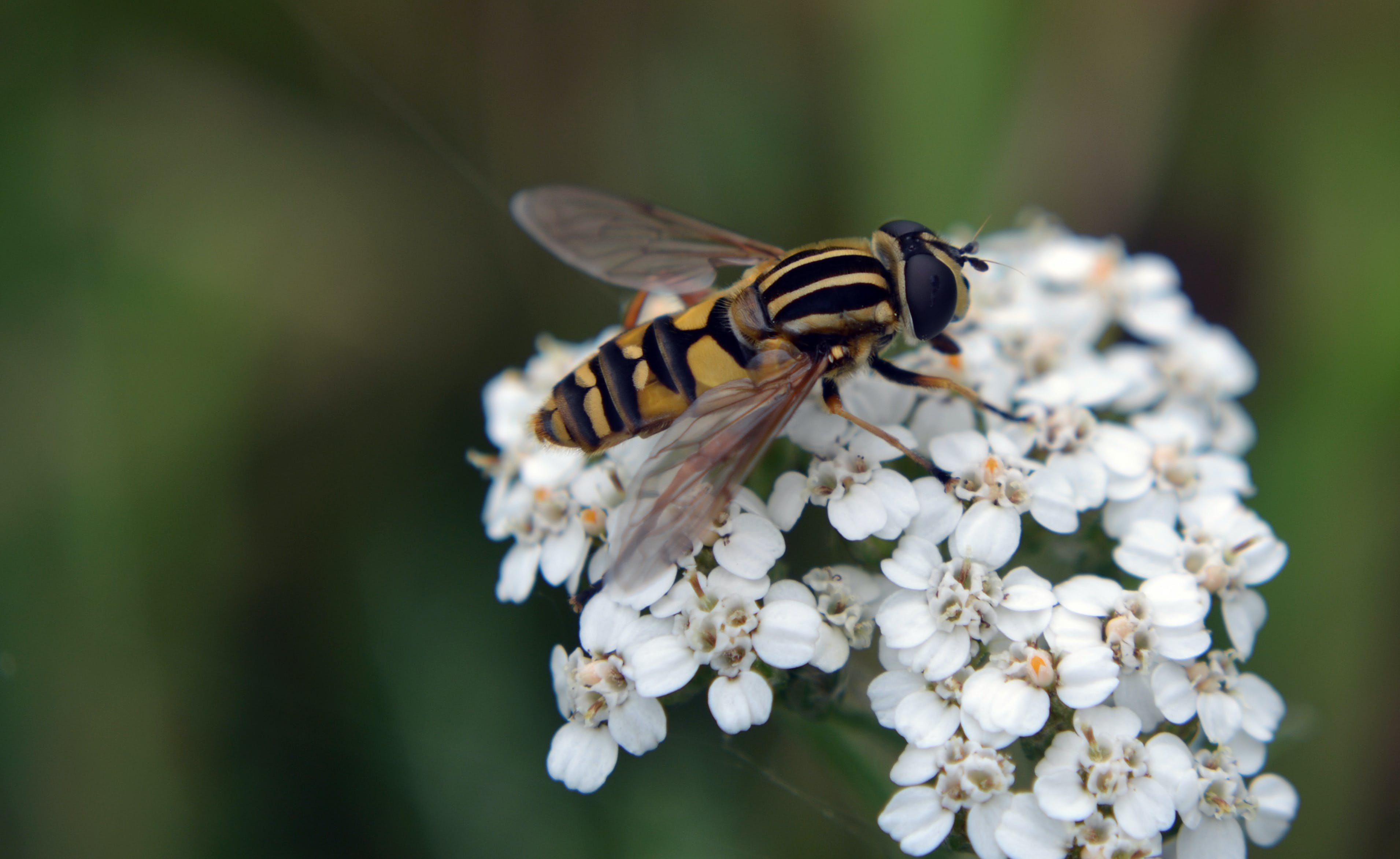 Macro Photography of Hoverfly on Flowers