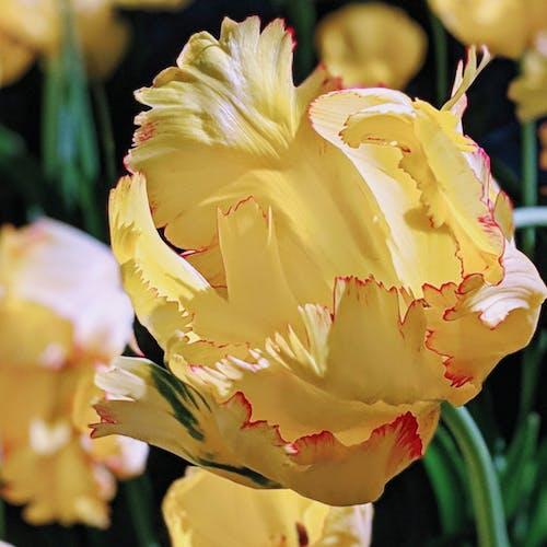 Free stock photo of spring, tulips