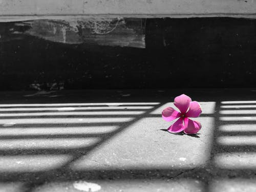 Free stock photo of alone, beautiful flower, black and white background