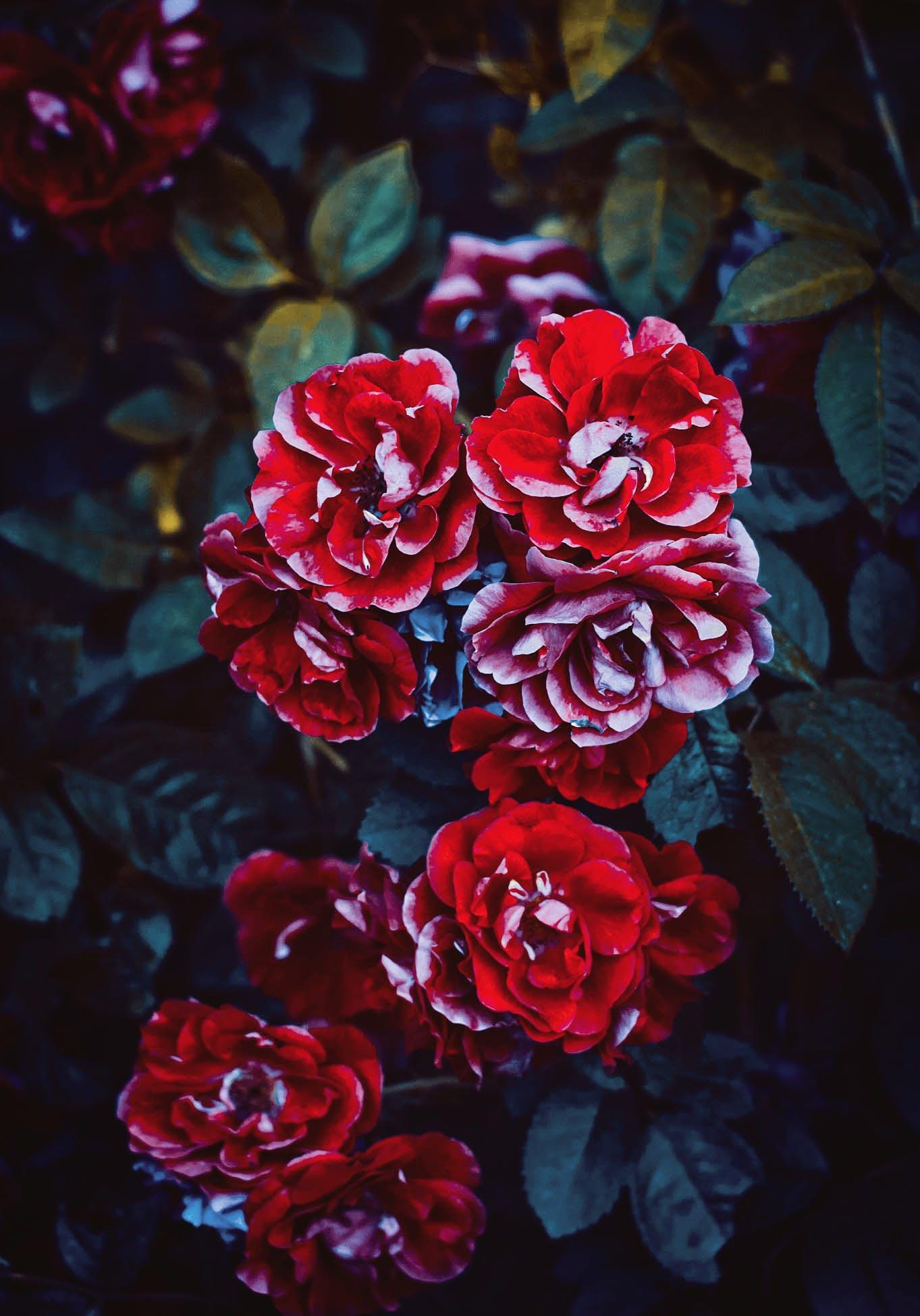 Základová fotografie zdarma na téma barvy, botanický, červené růže, flóra