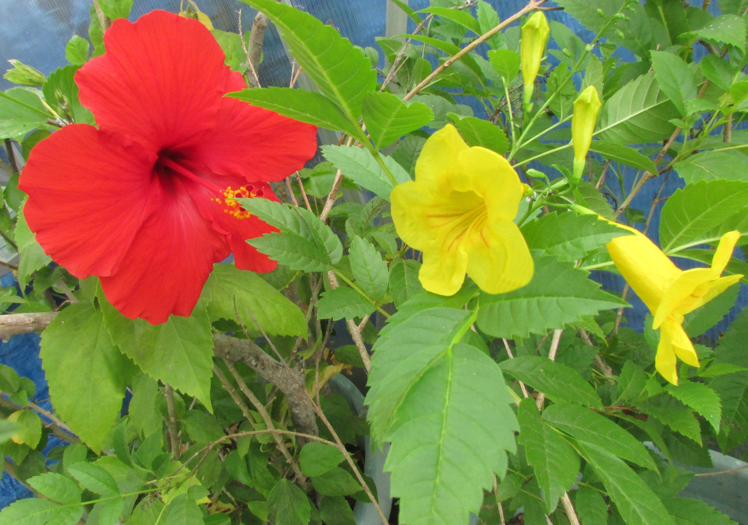 Free Stock Photo Of Green Foliage Hibiscus Trumpet Yellow Flowers