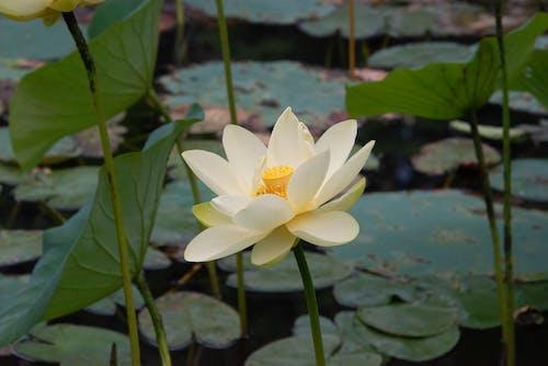 Free stock photo of flowers, lotus, mohan