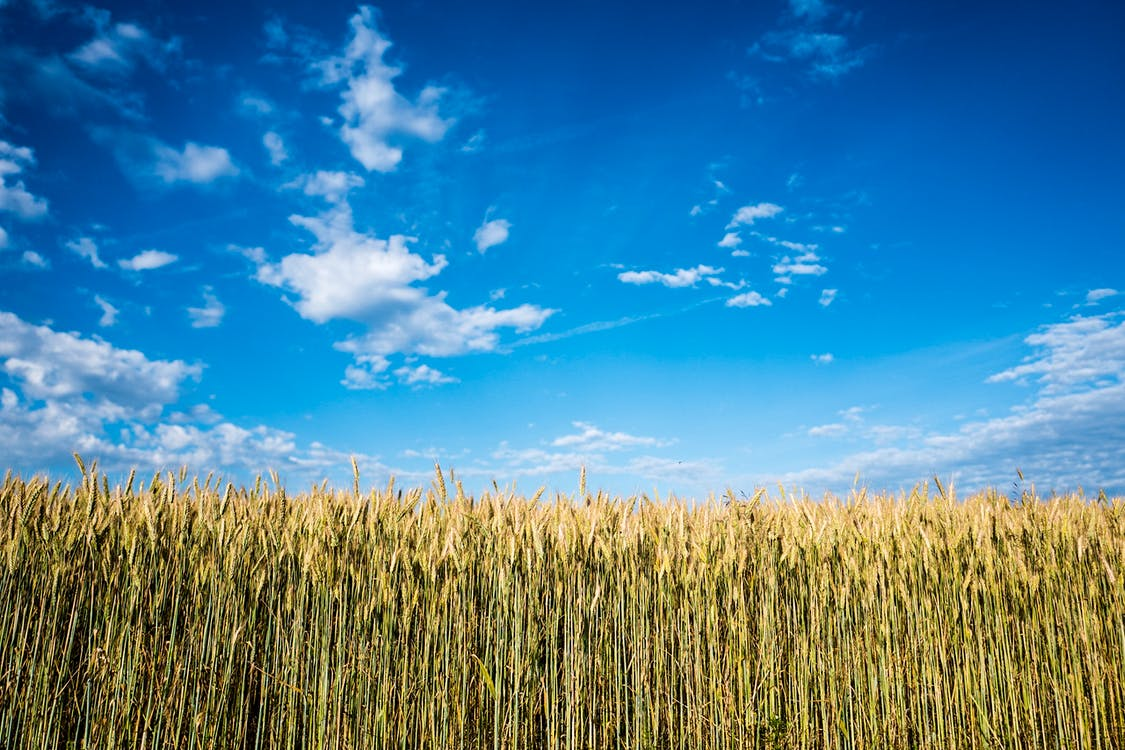 зростання, краєвид, кукурудза