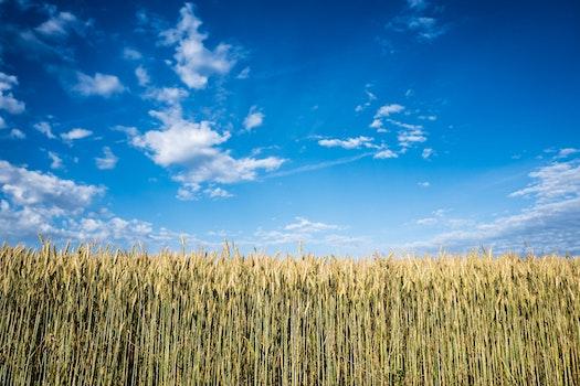 Corn Field at Daytime